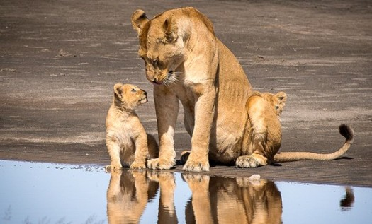 Lion_and-cubs